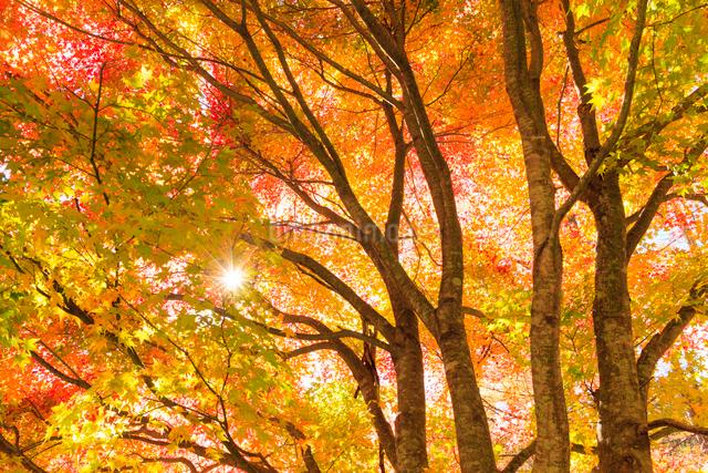 紅葉と太陽の写真素材 [FYI01563105]