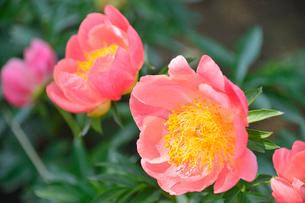 茨城県フラワーパークに咲くシャクヤクの写真素材 [FYI01563109]