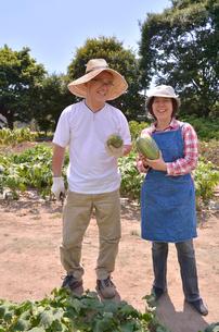 江戸東京野菜の本田ウリの収穫の写真素材 [FYI01563151]