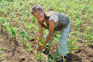 江戸東京野菜の谷中ショウガを収穫するの写真素材 [FYI01563158]