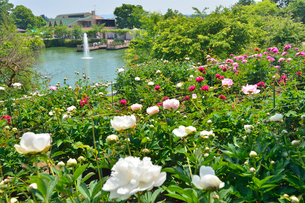 茨城県フラワーパークに咲くシャクヤクの写真素材 [FYI01563189]