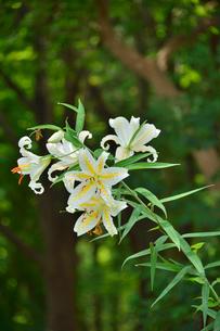 茨城県フラワーパークに咲くヤマユリの写真素材 [FYI01563202]
