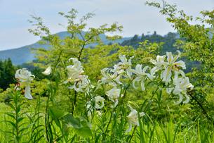 茨城県フラワーパークに咲くヤマユリの写真素材 [FYI01563260]