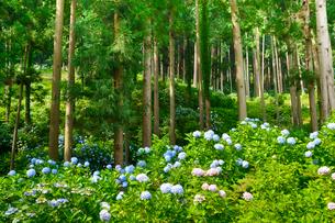 茨城県フラワーパークに咲くアジサイの写真素材 [FYI01563272]