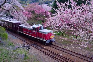花桃や桜の咲く中を走るトロッコ電車の写真素材 [FYI01563297]