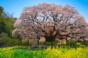 印西市指定天然記念物吉高の大ヤマザクラの写真素材 [FYI01563302]