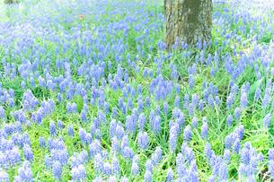 昭和記念公園に咲くムスカリとチューリップの写真素材 [FYI01563306]