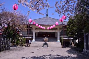 染井稲荷神社のサクラまつりの提灯の写真素材 [FYI01563412]