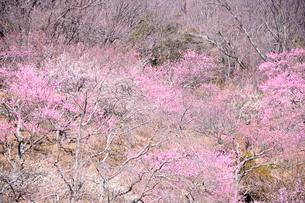 筑波山梅林に咲くウメの写真素材 [FYI01563495]