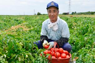 加工用トマトの収穫の写真素材 [FYI01563504]