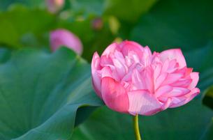 あけぼの山農業公園に咲く八重のハスの花の写真素材 [FYI01563567]