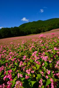 赤そば畑(タカネルビー)の写真素材 [FYI01563576]