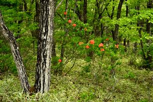 龍頭の滝周辺の木々とレンゲツツジの写真素材 [FYI01563650]
