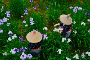 潮来あやめ祭り会場で花がらを摘むの写真素材 [FYI01563662]