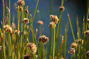 トトラ葦(家、薬草など色々に使用)の写真素材 [FYI01563680]