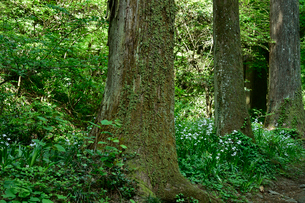 高尾山に咲くシャガの写真素材 [FYI01563684]