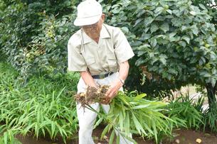 江戸東京野菜の八王子ショウガを収穫するの写真素材 [FYI01563689]