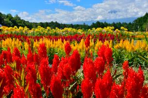 ケイトウ(ヒユ科)咲く富士見高原花の里の写真素材 [FYI01563752]