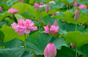 あけぼの山農業公園に咲く八重のハスの花の写真素材 [FYI01563784]