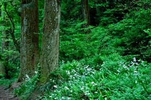 高尾山に咲くシャガの写真素材 [FYI01563788]