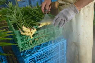 江戸東京野菜の八王子ショウガを霧水で洗うの写真素材 [FYI01563859]