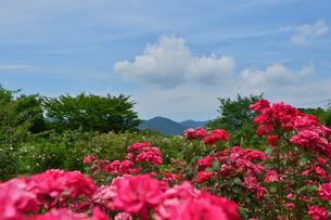 茨城県フラワーパークに咲くバラの写真素材 [FYI01563863]