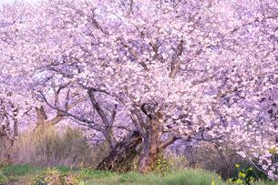 今井地区用水路脇の桜、通称今井の桜の写真素材 [FYI01563868]