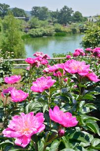 茨城県フラワーパークに咲くシャクヤクの写真素材 [FYI01563899]