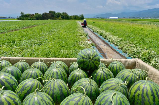スイカの収穫の写真素材 [FYI01563918]