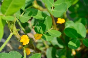 落花生の花の写真素材 [FYI01563936]