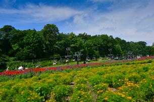 たんばらラベンダーパークに咲くマリーゴールド(キク科)の写真素材 [FYI01563959]