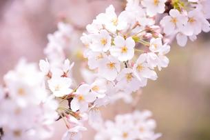 千鳥ヶ淵に咲くサクラの写真素材 [FYI01563990]