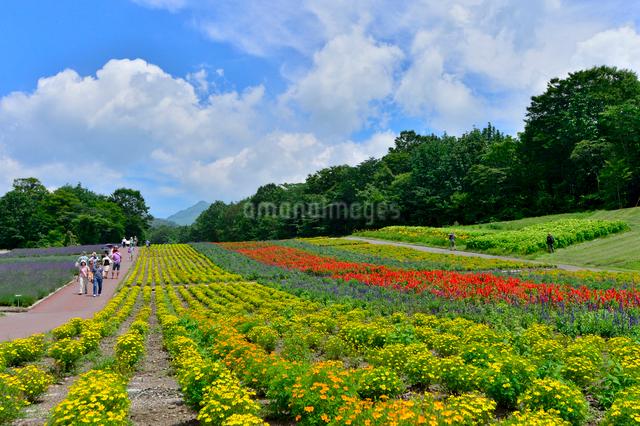 たんばらラベンダーパークに咲く花々の写真素材 [FYI01563991]