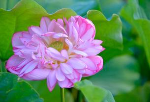 あけぼの山農業公園に咲く八重のハスの花の写真素材 [FYI01564042]