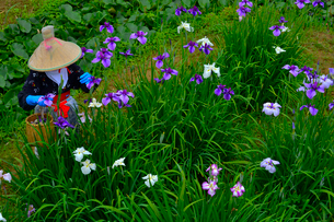 潮来あやめ祭り会場で花がらを摘むの写真素材 [FYI01564075]