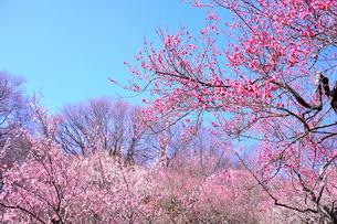 筑波山梅林に咲くウメの写真素材 [FYI01564085]