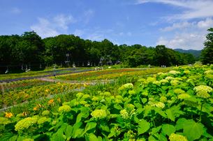 アナベル(ユキノシタ科)咲くたんばらラベンダーパークの写真素材 [FYI01564099]