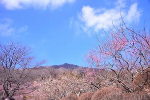 筑波山梅林に咲くウメの写真素材 [FYI01564143]