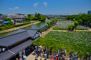 潮来あやめ祭り会場のあやめ園の写真素材 [FYI01564182]