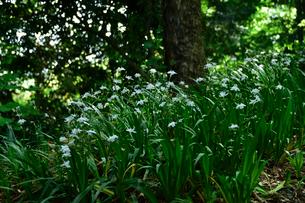 高尾山に咲くシャガの写真素材 [FYI01564195]