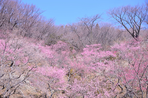 筑波山梅林に咲くウメの写真素材 [FYI01564200]