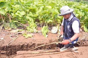 江戸東京野菜の滝野川ゴボウを収穫するの写真素材 [FYI01564232]