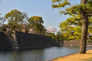 皇居のお堀の周囲に咲く桜と石垣と松の写真素材 [FYI01564242]