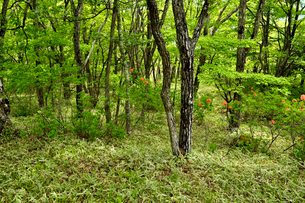 龍頭の滝周辺の木々とレンゲツツジの写真素材 [FYI01564262]
