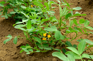 花をつけたラッカセイ畑の写真素材 [FYI01564316]