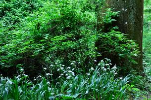 高尾山に咲くシャガの写真素材 [FYI01564342]