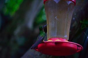 ホテル,インカテラ・マチュピチュの庭のハチドリの写真素材 [FYI01564383]