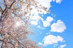 ルーズベルトアイランド桜と青空と雲の写真素材 [FYI01569866]