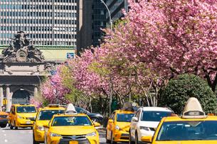 満開の桜並木パークアベニューと交通の写真素材 [FYI01569998]