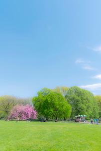 セントラルパーク グレートローン新緑の中に咲く桜の木の写真素材 [FYI01570000]
